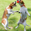 图库照片: Two beagles play with ball