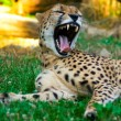 Lazy cheetah in the sunset — Stock Photo