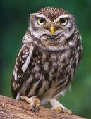Burrowing owl — Stock Photo