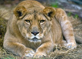 Big female lion resting — Stock Photo