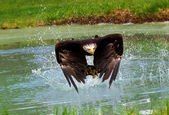 águia bold (realce — Fotografia Stock