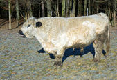 Galloway cattle — 图库照片