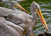 Pelican with fish — Stock Photo