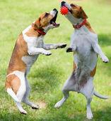 Dos beagles jugarcon con pelota — Foto de Stock