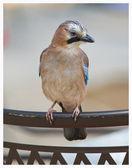голубая сойка птица — Стоковое фото