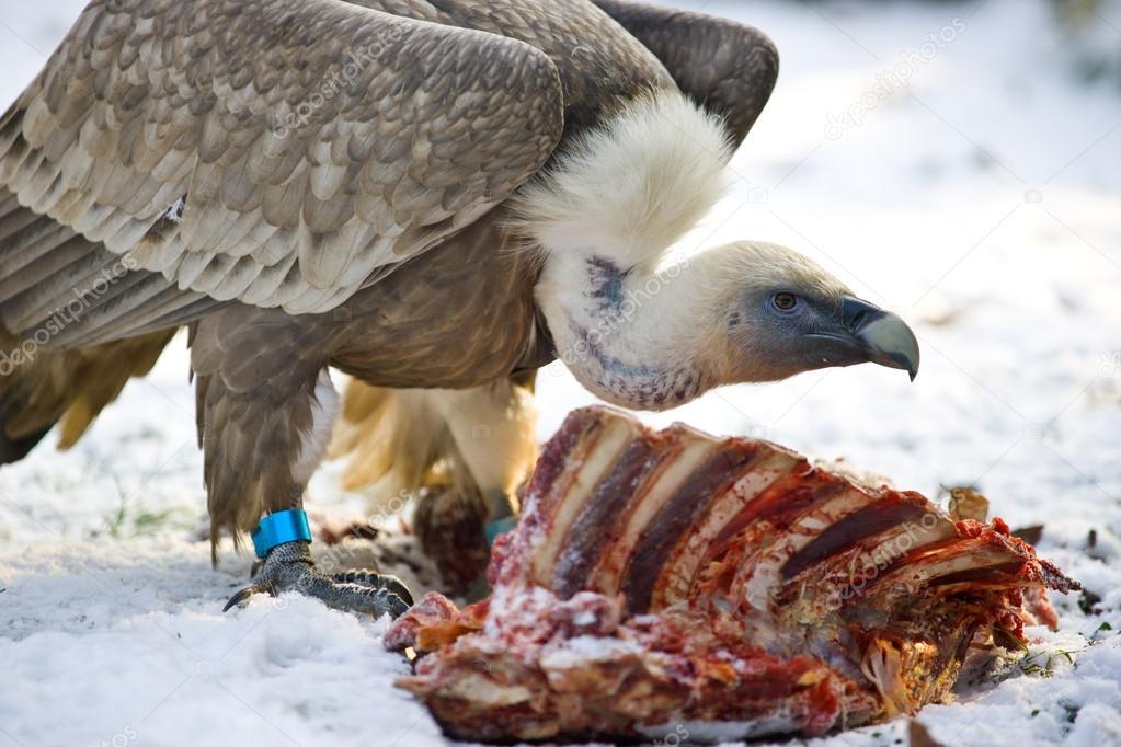 Sky burial  vultures feeding on dead human bodies
