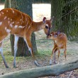 Stock Photo: Sitatunga mother and baby