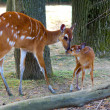 Sitatunga mother and baby — Stock Photo