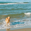 Royalty-Free Stock Photo: Golden retriever running out of the sea on a sunny day.