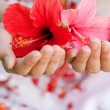 Close up view of a young girl's hands holding hibisus flowers with care. - Stock Photo
