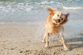 Close up view of a golden labrador shaking sea water off his body on the beach shore. — Stock Photo