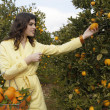 Foto Stock: Young woman reaching for an orange from a tree