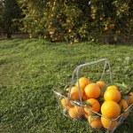 Wire shopping basket full of fresh oranges — Stock Photo #21736577