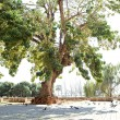 Large old trees growing in a paved zone in an urban area — Stock Photo