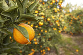 Orange hanging on a tree at an orange grove. — Stock Photo