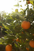Fresh oranges hanging on an orange tree with a blue sky behind. — Stock Photo