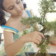 Stock Photo: Young girl concentrated in trimming bonsai tree into shape.