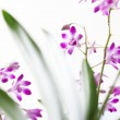 Small pink orchid flowers with green leaves — Stock Photo
