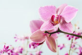 Close up detail of two pink orchids — Stock Photo