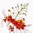 Pride of barbados flower — 图库照片
