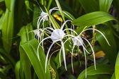 Closeup crinum asiaticum flowers with green leaf — Stock Photo