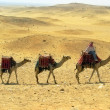 Three camel caravan going through the sand desert near pyramid in the Egypt — Stock Photo