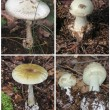 Stock Photo: Death angel - sharply poisonous fungus