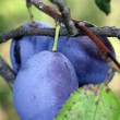 Royalty-Free Stock Photo: Blue plums on the tree