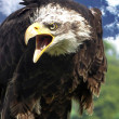Stock Photo: Screaming AmericBald Eagle