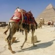 Stock Photo: Khafra's Pyramid with camel of Giza,