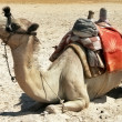 Alone sitting camel in the desert - Stock Photo