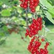 Shrub red-currant — Stock Photo