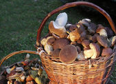 Two baskets collected edible mushrooms — Stock Photo