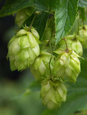 Hop-plant - raw material for production beer — Stock Photo