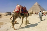 Khafra's Pyramid with camel of Giza, — Stock Photo