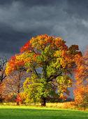 One colored oak in autumn — Stock Photo