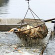 Stock Photo: Autumn harvest of carps from fishpond to christmas markets