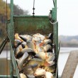autumn harvest of carps from fishpond to christmas markets — Stock Photo