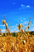Ripe oats with blue sky — Stock Photo