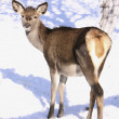 Stock Photo: Roe-doe in winter on snow
