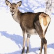 Roe-doe in winter on snow — Stock Photo