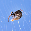 Spider with cross with fly — Stock Photo