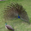 Peacock with outstretched plumage — Stock Photo