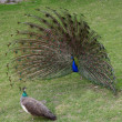 Peacock with outstretched plumage - Stock Photo