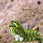 Papilio machaon — Stock Photo