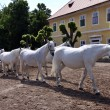 White horses and foals — Stock Photo #20506471
