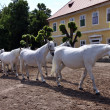 Stock Photo: White horses and foals