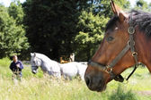 Taming white horse with view brown horses — Stock Photo