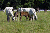 White horses with foals on pasture — Stock Photo