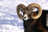 Mouflon in winter — Stock Photo